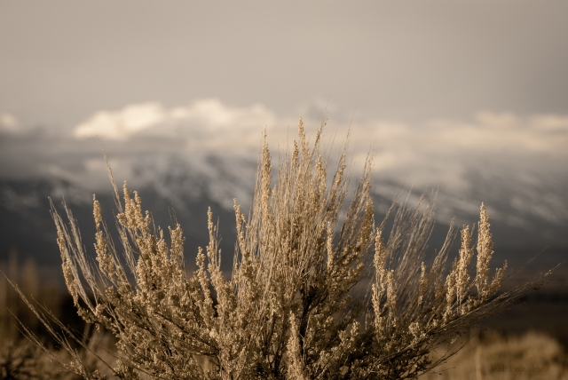 Sagebrush in the Spring