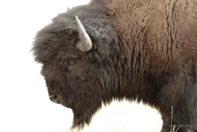 More Yellowstone Photos